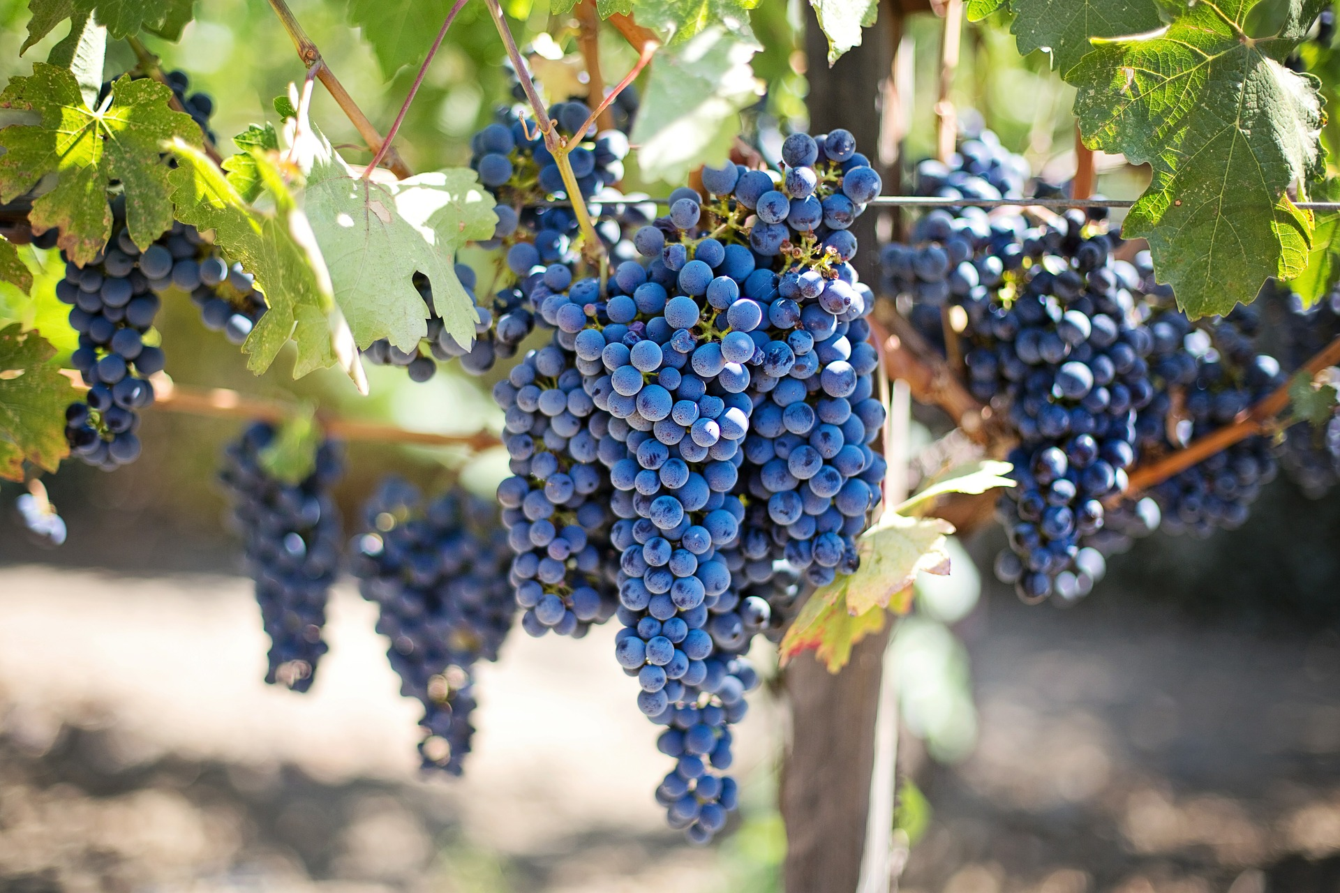 Pixabay Purple Grapes 553464 1920